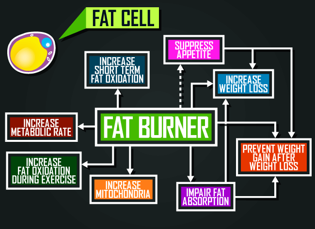 mechanisms-of-fat-burning