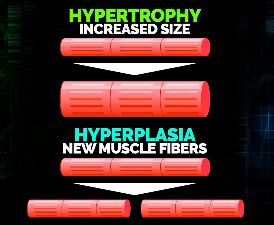 hypertrophy-vs-hyperplasia